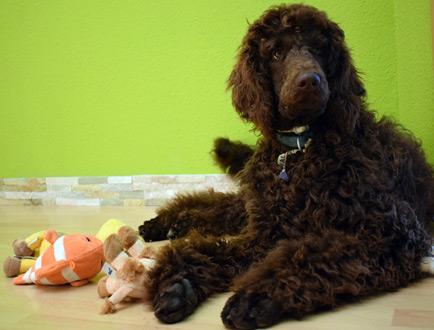 Therapiehund Salome